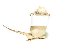 Lizard holding card in hand. On white background Stock Photography