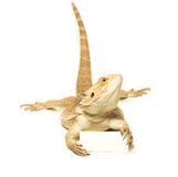 Lizard holding card in hand. On white background Royalty Free Stock Photography