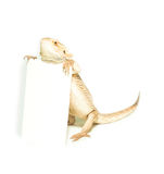 Lizard holding card in hand on white. Background Royalty Free Stock Image