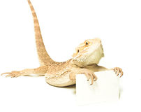 Lizard holding card in hand on white. Background Stock Photo