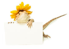 Lizard holding card in hand on white Royalty Free Stock Photo
