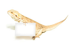 Lizard holding card in hand on white Royalty Free Stock Images