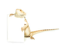 Lizard holding card in hand on white Stock Photography