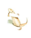 Lizard holding card in hand on white Royalty Free Stock Photos