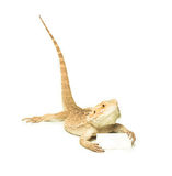 Lizard holding card in hand Royalty Free Stock Image