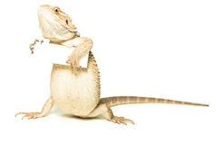 Lizard holding card in hand Stock Image