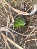 Lizard. In a hole Stock Photos