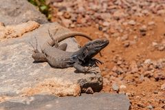 Lizard on hot stones Stock Image