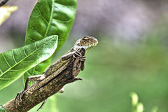 Lizard Hugging Branch at Bollywood Veggies Farm Stock Photography