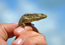 Lizard in a human hand against the blue sky Stock Photo