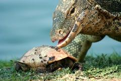 Lizard hunting. Big lizard preparing to eat a turtle,  Bangkok, thailand, Asia Stock Images