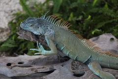 Lizard on hunting Stock Images