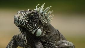 Lizard (iguana) close-up Royalty Free Stock Photo