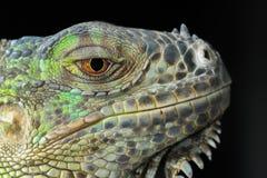 The Lizard, Iguana, Gad, Dragon Stock Images