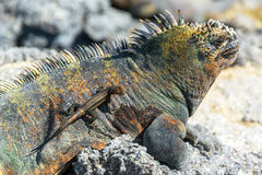 Lizard on an Iguana in Galapagos Royalty Free Stock Photo