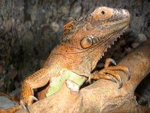 Lizard iguana sitting in a terrarium on a branch heated stock photos