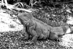 Lizard iguana with spines sitting on grey stones in Honduras. On sunny day on natural background. Wildlife, wild animals and nature concept Royalty Free Stock Image