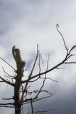 Lizard,iguana on a top of tree for wait to eat a dragonfly with blue sky and clouds on background,filtered image,selective focus Royalty Free Stock Photography