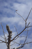 Lizard,iguana on a top of tree for wait to eat a dragonfly with blue sky and clouds on background,filtered image,selective focus Stock Photos