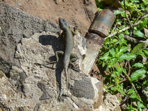 Lizard in in Iguazu National Park, Argentina Stock Image
