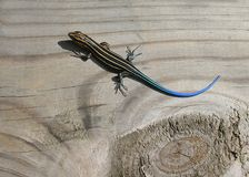 Lizard II. A blue tail lizard photographed in northern Virginia royalty free stock images