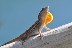 Lizard impressing Stock Photos