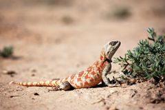 Lizard In Desert Stock Photos