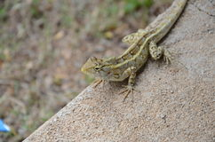 Lizard. Indian lizard in VIT university Stock Photography