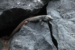 Lizard on the island of Tenerife Stock Images
