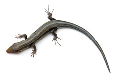 Lizard Isolated Stock Image