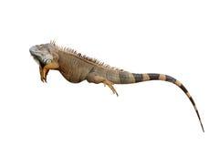 Lizard isolated royalty free stock photos