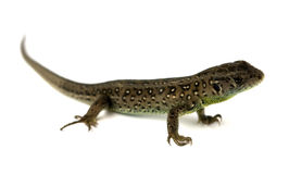 Lizard isolated Royalty Free Stock Photography