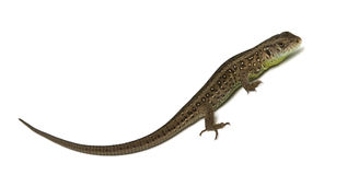 Lizard isolated Stock Photo