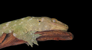 Lizard Isolated Black Stock Images