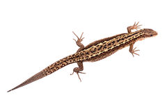 Lizard isolated on white background. Brown lizard isolated on white background Royalty Free Stock Photography