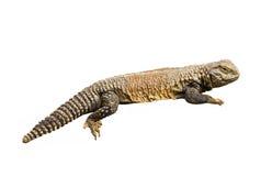 Lizard isolated Stock Photography