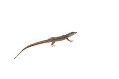 Lizard Isolated. On White Background Royalty Free Stock Photography