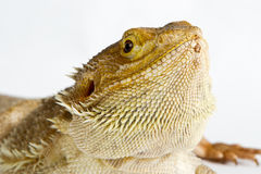 Lizard isolated on white background Royalty Free Stock Photography