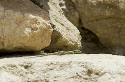 Lizard in Israel Stock Photography