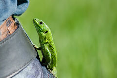 Lizard on jeans. With a belt Stock Photos