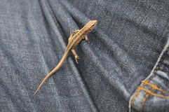 Lizard on Jeans. Small lizard on jeans trousers in summertime Stock Image
