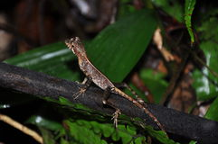 Lizard in the jungle often disguise Royalty Free Stock Image