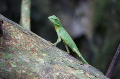 Lizard in jungle Stock Photos