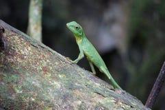 Lizard in jungle. Small lizard climbing tree in Borneo jungle Stock Photos