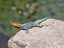Lizard kenya safari. Reptile lizard kenya mombasa safari Stock Photo