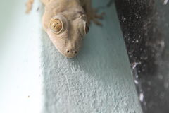 Lizard. Killer look of a Lizard Royalty Free Stock Photo