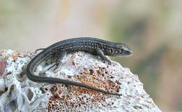 Lizard Lacerta agilis Royalty Free Stock Photography
