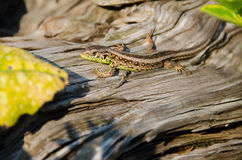Lizard, Lacerta agilis Royalty Free Stock Image