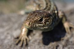 Lizard - Lacerta agilis Stock Image