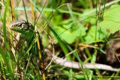 Lizard - Lacerta Agilis Stock Photography